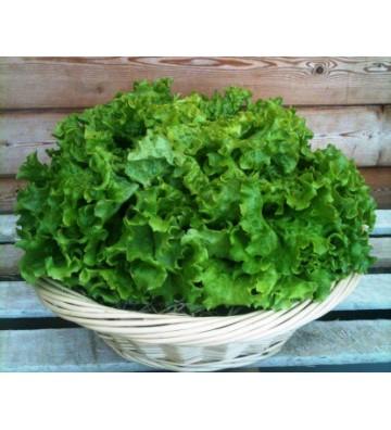 Salade Batavia Unité