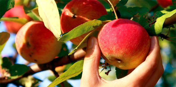 Cueillette chez un producteur de pommes