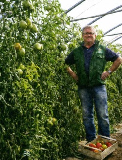 Didier Vecten au milieu de sa production de tomates