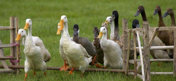 Canard à foie gras