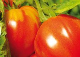 Bandeau Tomate Cœur de Boeuf